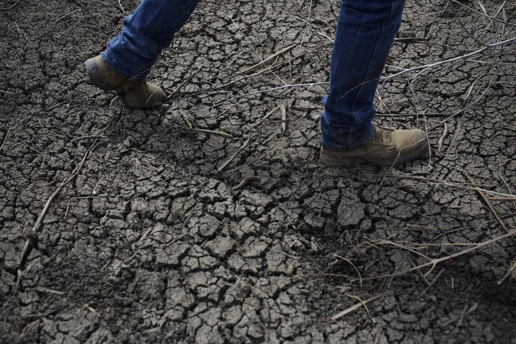 FILE - In this May 1, 2014 file photo, fourth-generation rice farmer Josh Sheppard walks across the dried-up ditch at his rice farm in ...