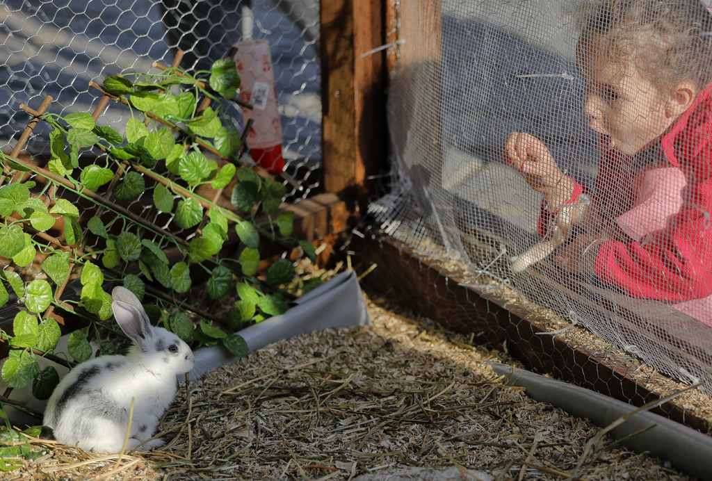 In this Thursday, April 13, 2017, picture a child tries to interact with a rabbit on display at a fair in Bucharest, Romania. Ahead of ...