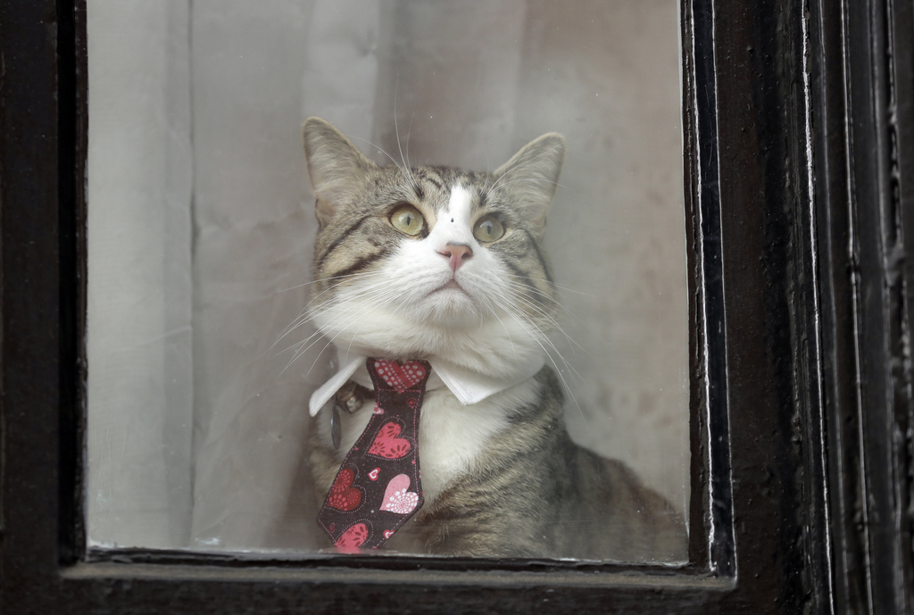 A cat dressed in a collar and tie looks out from a window of the Ecuadorian embassy in London, Friday May 19, 2017. Sweden's top prosec...