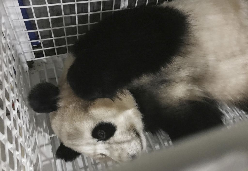 3 giant pandas return to China from Japan under agreement