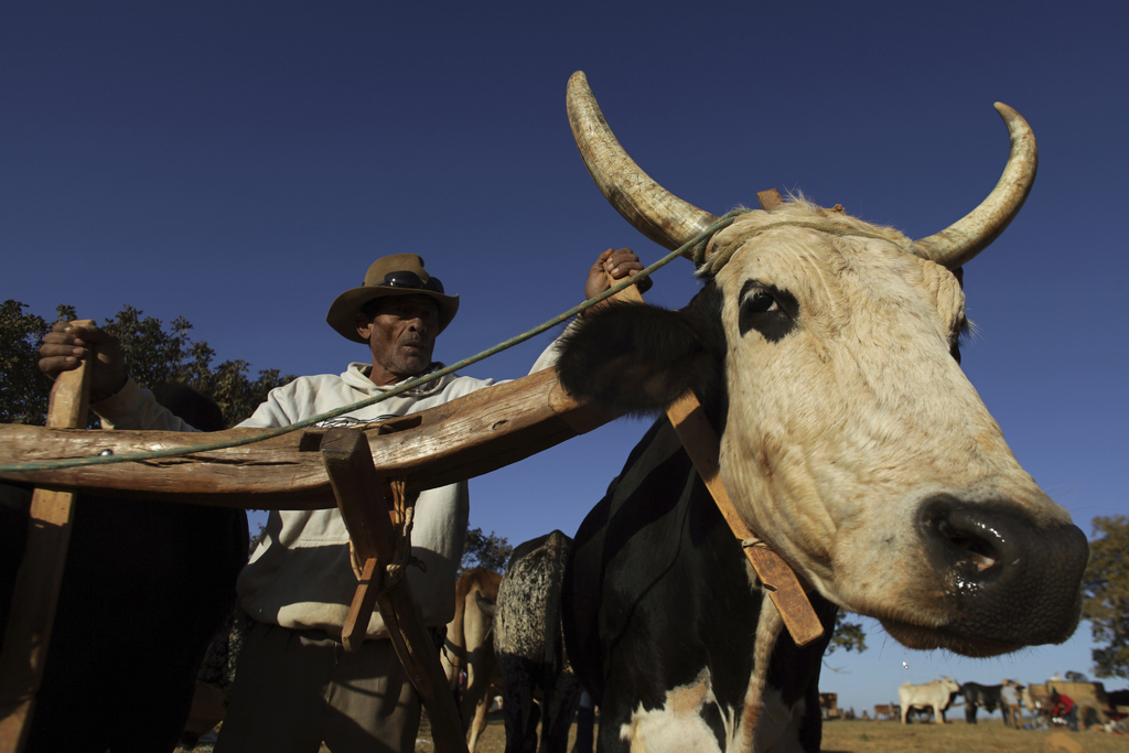 In this July 21, 2017 photo, a cowboy drives his team of oxen, before the ascent to the Serra da Boa Vista, during the Ox Cart Festival in Vazante, Mi...