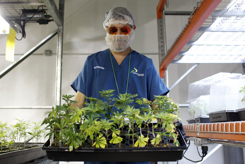 In this July 24, 2017 photo, Noel Sola, a cultivation worker at Natural Ventures carries marijuana plants in Caguas, Puerto Rico. Medical marijuana is...