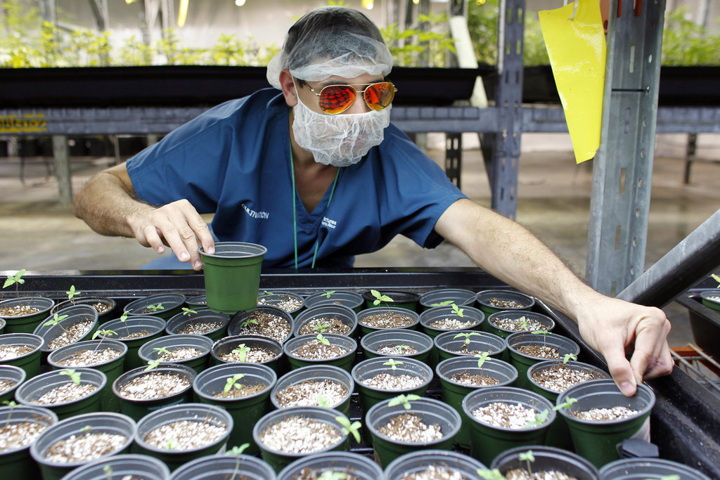 In this July 24, 2017 photo, Noel Sola, a cultivation worker at Natural Ventures inspects germinated marijuana plants in Caguas, Puerto Rico. In addit...