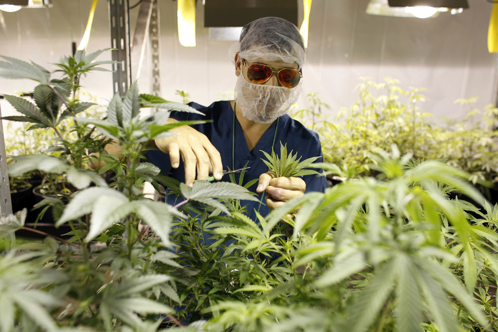 In this July 24, 2017 photo, Noel Sola, a cultivation worker at Natural Ventures inspects marijuana plants in Caguas, Puerto Rico. Investors in Puerto...