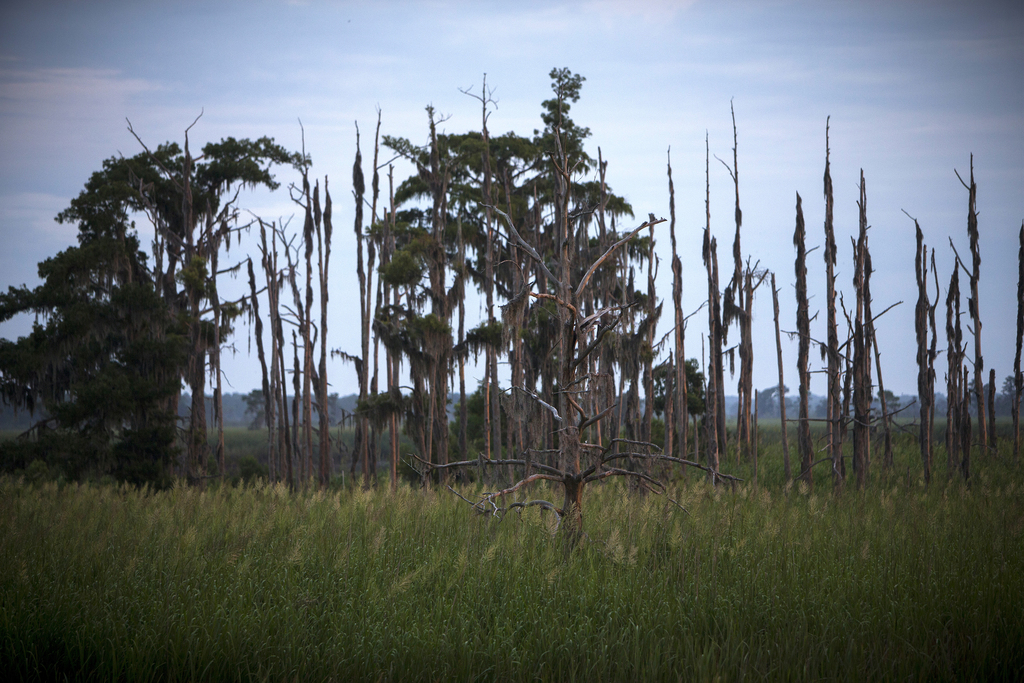 """This July 16, 2017, photo shows a """"ghost forest"""" near the Savannah River in Port Wentworth, Ga. Rising sea levels are killing trees along vast swaths ..."""
