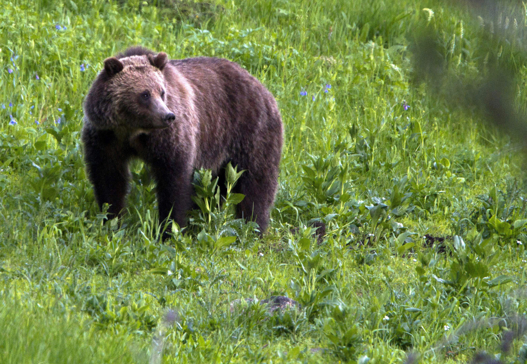 FILE - This July 6, 2011, file photo shows a grizzly bear roaming near Beaver Lake in Yellowstone National Park, Wyo. For the second time in a decade,...