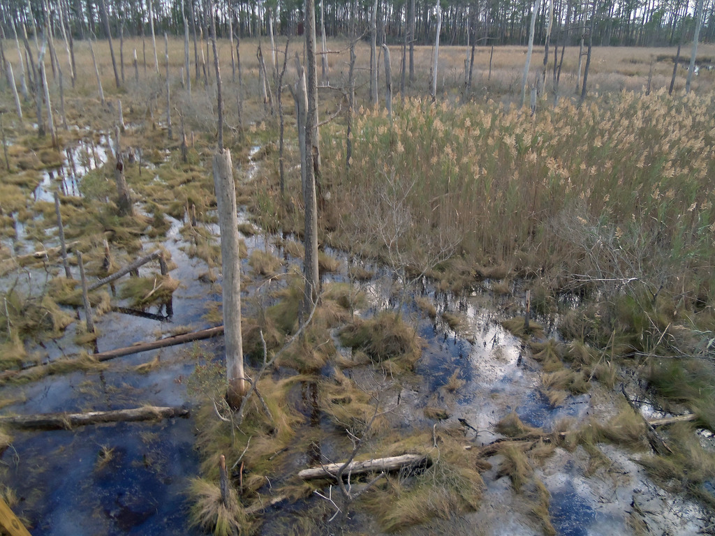 This undated photo provided by Matthew Kirwan shows Phragmites and Spartina marshland expanding into a ghost forest in Robbins, Md. Rising sea levels ...
