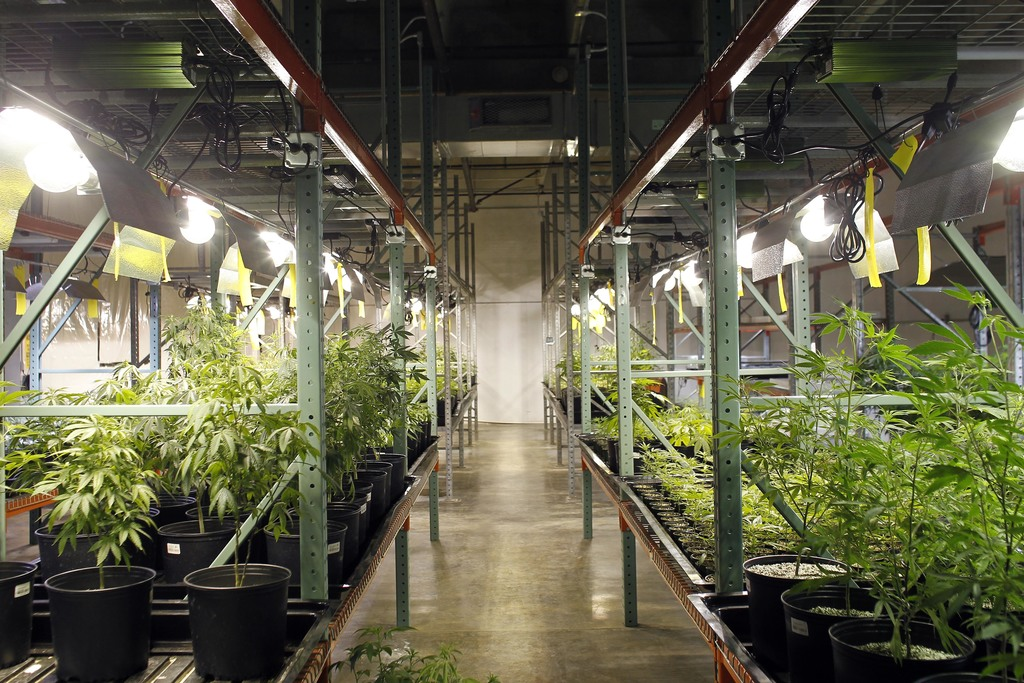In this  July 24, 2017 photo, Marijuana plants bloom at a laboratory in Natural Ventures in Caguas, Puerto Rico. Medical marijuana is legal in 29 U.S....