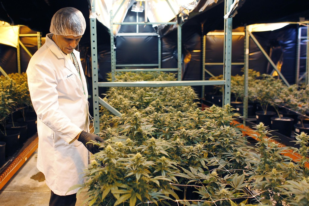 In this  July 24, 2017 photo, Juan Manuel Rodriguez, an investor at Natural Ventures inspects marijuana plants in a bloom room in Caguas, Puerto Rico....