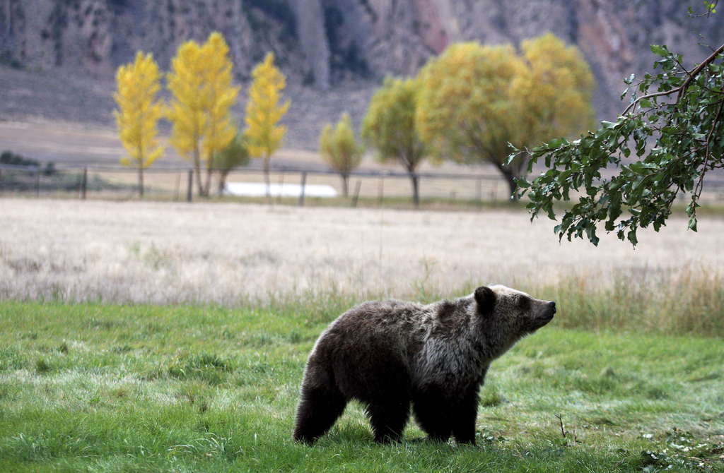 FILE - In this Sept. 25, 2013, file photo, a grizzly bear cub searches for fallen fruit beneath an apple tree a few miles from the north entrance to Y...