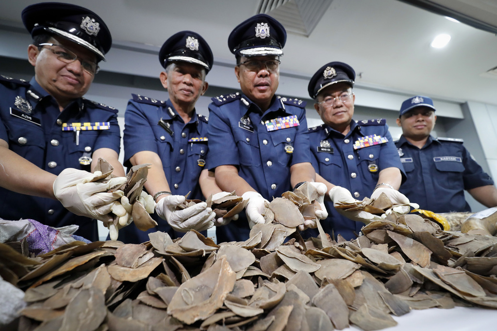 Seized pangolin scales are shown by a Malaysian Customs officials after a press conference at Customs office in Sepang, Malaysia on Wednesday, Aug. 2,...