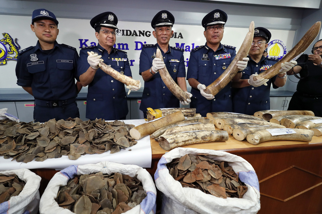 Seized pangolin and Tusks scales are shown by Malaysian Customs officials after a press conference at Customs office in Sepang, Malaysia on Wednesday,...