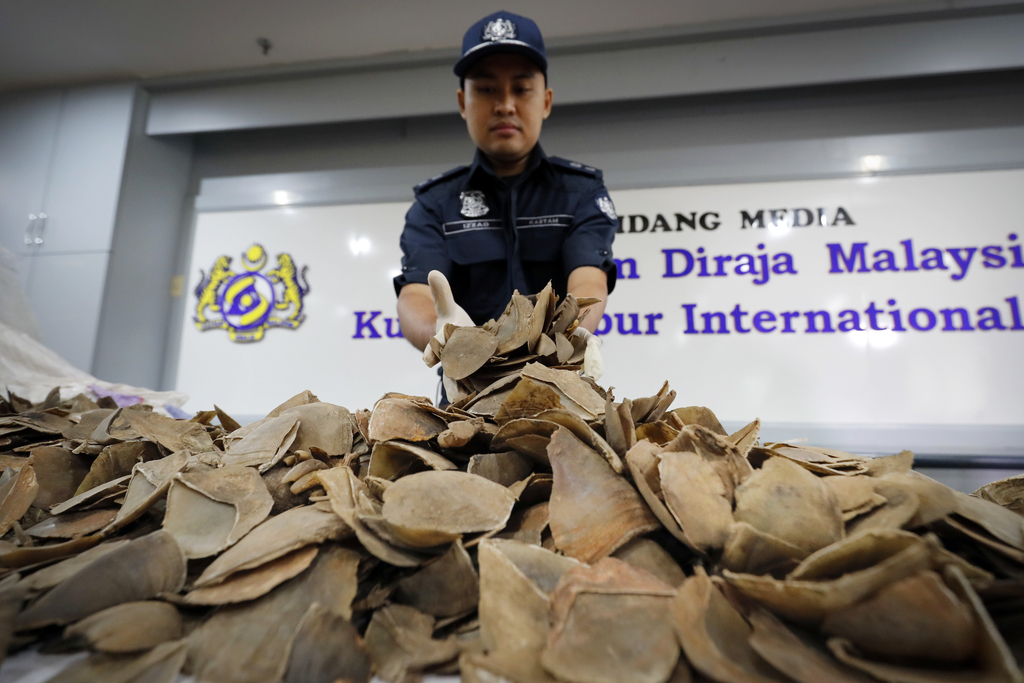 Seized pangolin scales are displayed by a Malaysian Customs official after a press conference at Customs office in Sepang, Malaysia, Wednesday, Aug. 2...