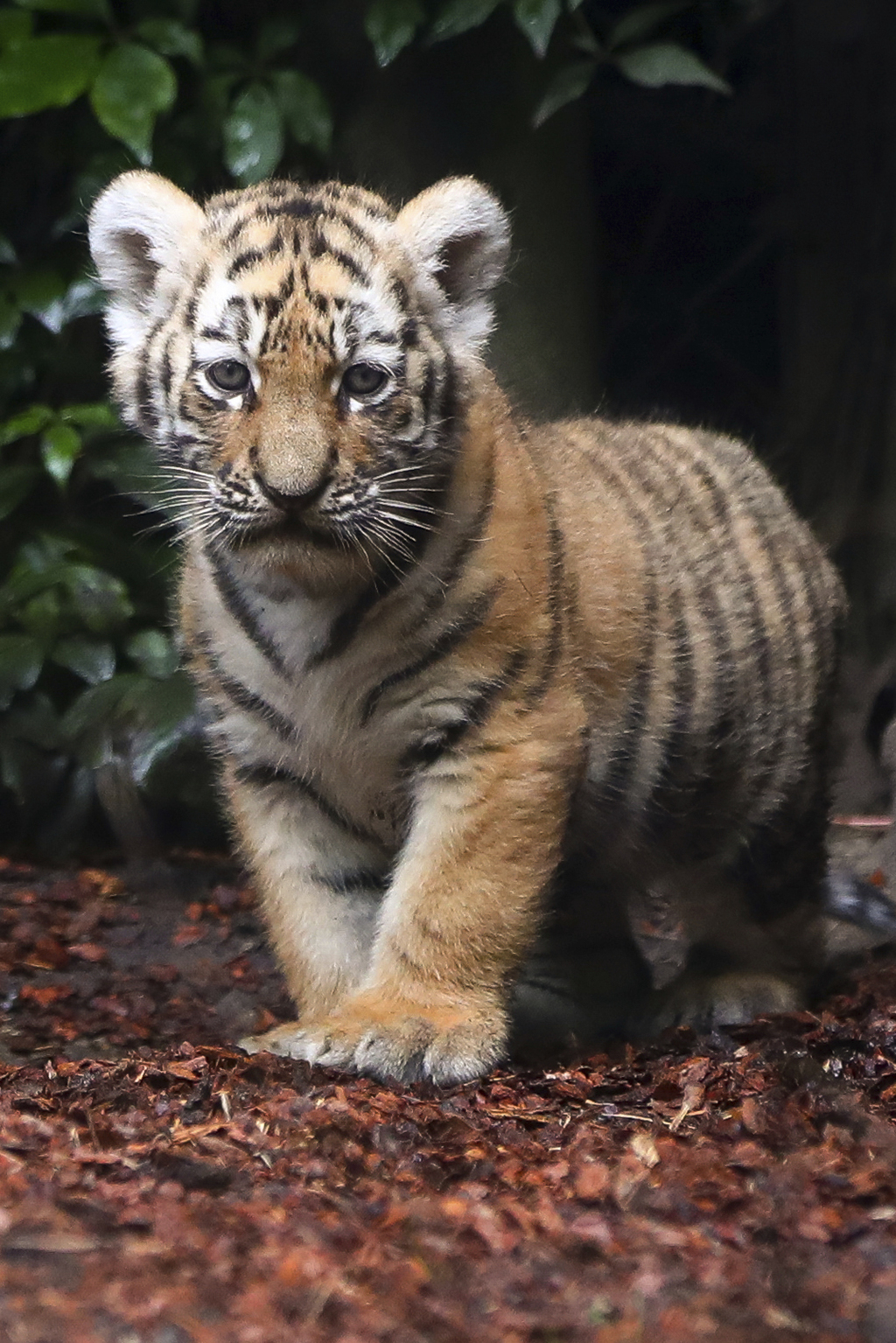A Siberian Tiger cub explores the enclosure in the zoo 'Hagenbeck' in Hamburg, Germany, Thursday, Aug. 3, 3017. Female tiger 'Maruschka'  gave  birth ...