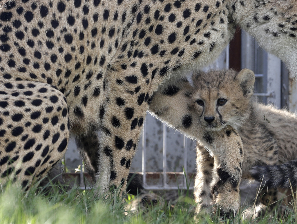 One of the newly born cheetah quintuplets plays with its mother Savannah at their enclosure at the zoo in Prague, Czech Republic, Thursday, Aug. 3, 20...