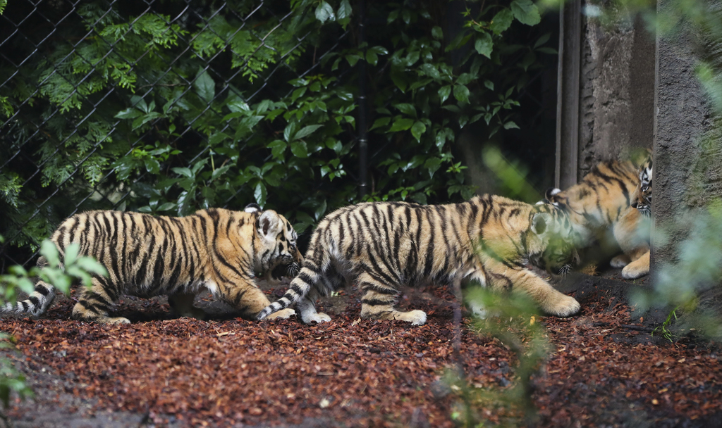 Four Siberian Tiger cubs explore the enclosure in the zoo 'Hagenbeck' in Hamburg, Germany, Thursday, Aug. 3, 3017. Female tiger 'Maruschka'  gave  bir...