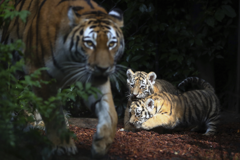 Female Siberian tiger 'Maruschka' and two of her babies explore the enclosure in the zoo 'Hagenbeck' in Hamburg, Germany, Thursday, Aug. 3, 3017. 'Mar...