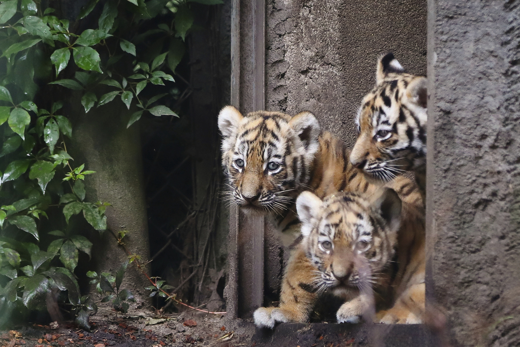 Three Siberian Tiger cubs explore the enclosure in the zoo 'Hagenbeck' in Hamburg, Germany, Thursday, Aug. 3, 3017. Female tiger 'Maruschka'  gave  bi...
