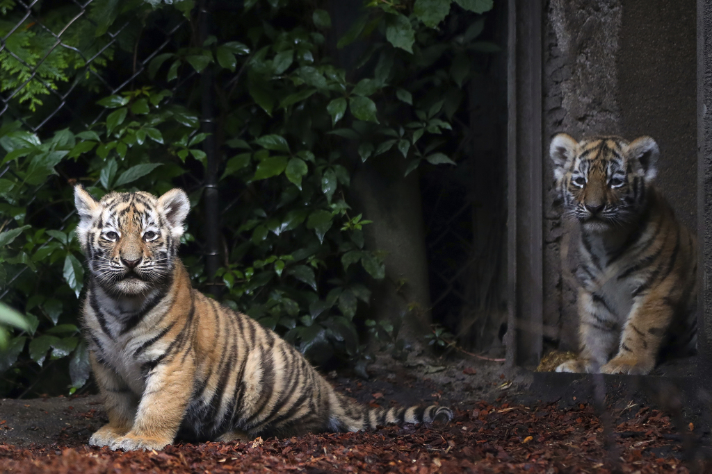 Two Siberian Tiger cubs explore the enclosure in the zoo 'Hagenbeck' in Hamburg, Germany, Thursday, Aug. 3, 3017. Female tiger 'Maruschka'  gave  birt...
