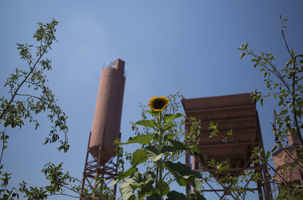 In this Aug. 1, 2017, photo, a sunflower grows in Swale garden which is docked in the Concrete Plant Park in New York. The Swale garden is an old cons...