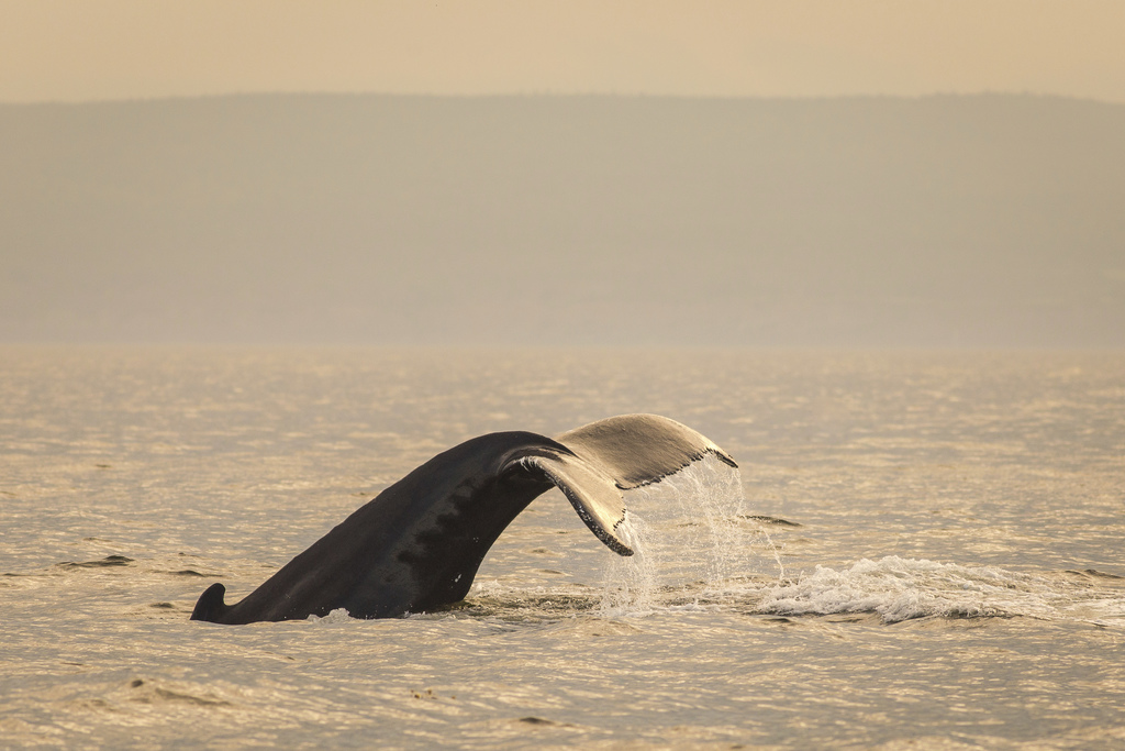 This undated photo provided by Québec Maritime shows a whale tail coming out of the water near the Gaspe Peninsula in Québec, Canada. The region offer...