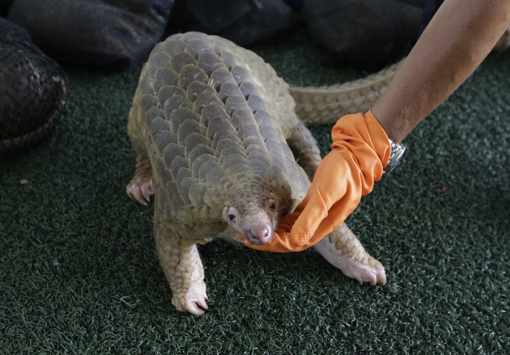 FILE - In this Aug. 31, 2017, file photo, a customs official displays one of the 136 illegal pangolins it seized, during a press conference at the Cus...