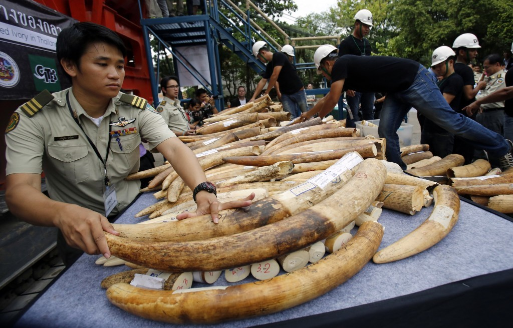 FILE - In this Aug. 26, 2015, file photo, officials arrange seized elephant tusks to be displayed before destruction in Bangkok, Thailand. With wildli...