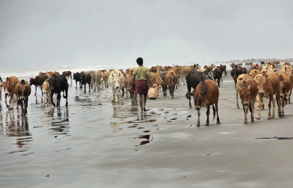 In this Sept. 7, 2017, photo, cattle from abandoned Rohingya villages walk along a beach at Alel Than Kyaw village, southern Maungdaw, Rakhine state, ...