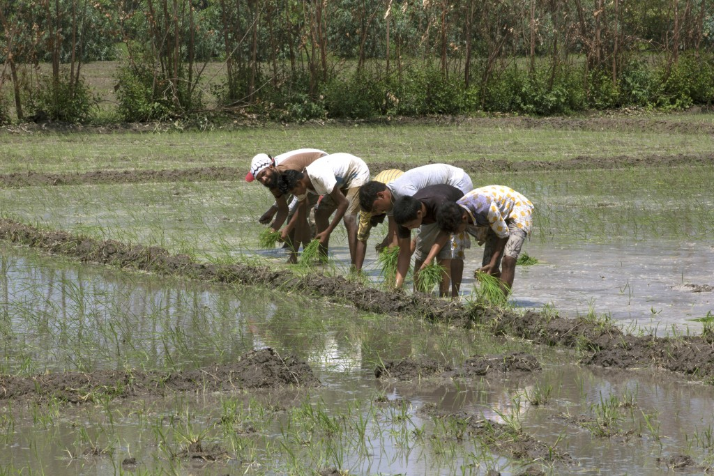 In this July 14, 2017 photo, villagers work in rice fields in Moradabad 178 kilometers (110 miles) from New Delhi. The villagers complained of ailment...