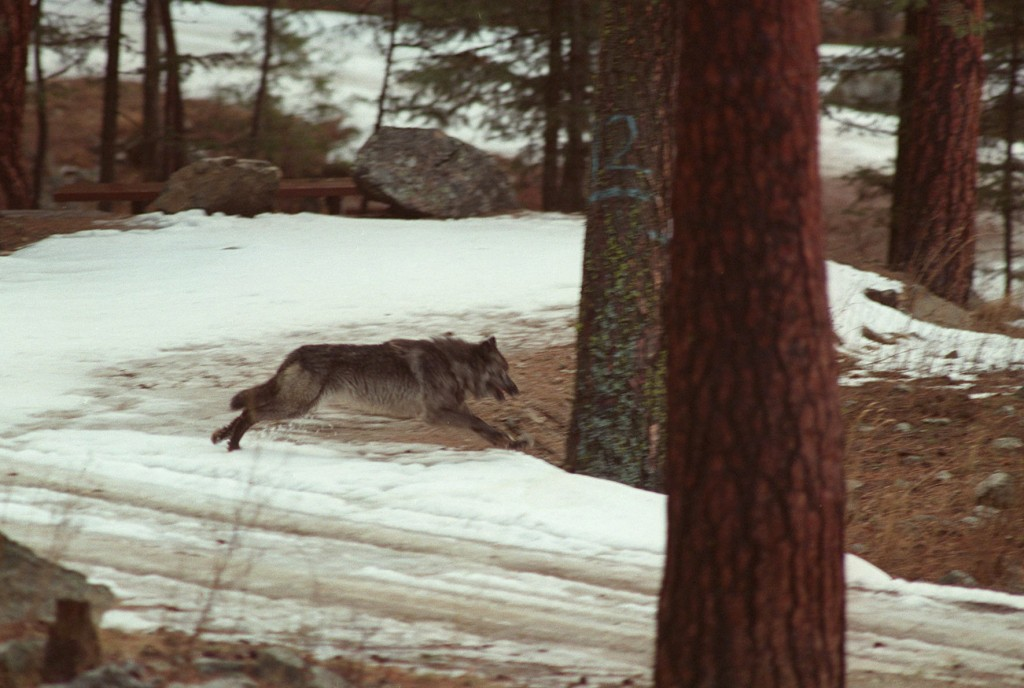 FILE - In this Jan. 14, 1995, file photo, a wolf leaps across a road into the wilds of Central Idaho. Idaho officials are challenging a federal court
