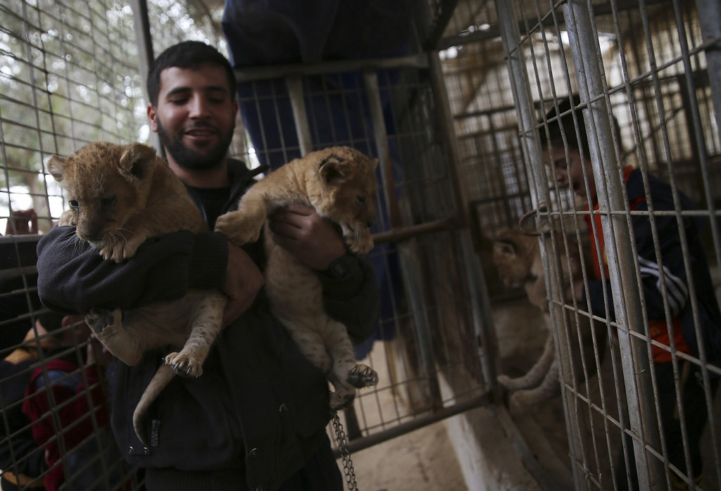 Ahmad Joma'a, a zoo worker holds two-month-old lion cubs at the zoo in Rafah, Gaza Strip, Friday, Dec. 22, 2017. A Palestinian zoo owner has put three...