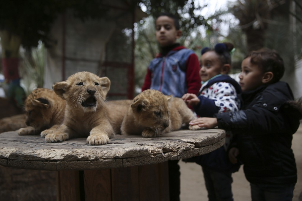 Palestinian children stand near two-month-old lion cubs at the zoo in Rafah, Gaza Strip, Friday, Dec. 22, 2017. A Palestinian zoo owner has put three ...