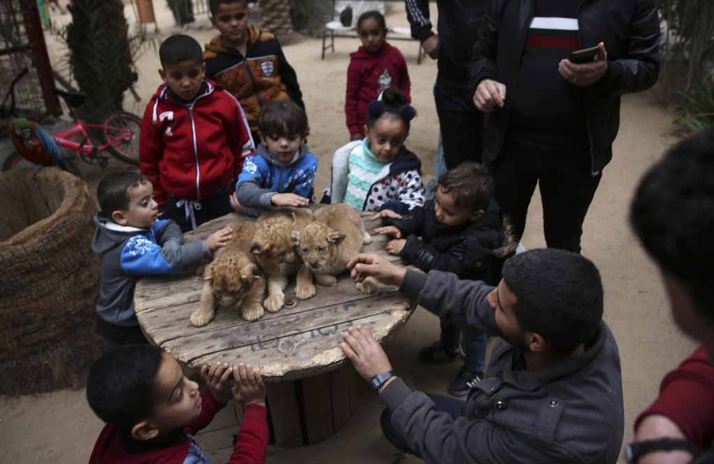 Palestinians play with two-month-old lion cubs at the zoo in Rafah, Gaza Strip, Friday, Dec. 22, 2017. A Palestinian zoo owner has put three lion cubs...