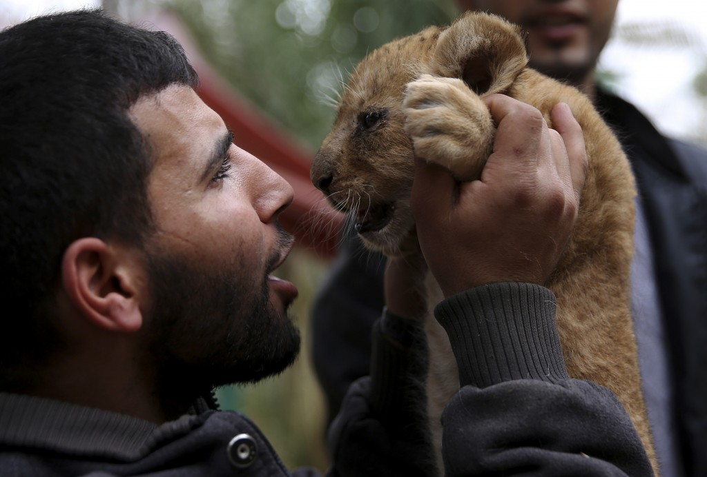 Ahmad Joma'a, a zoo worker, holds a two-month-old lion cub at the zoo in Rafah, Gaza Strip, Friday, Dec. 22, 2017. A Palestinian zoo owner has put thr...