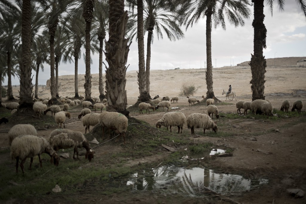 In this Sunday, April 2, 2017 photo, a Palestinian shepherd herds his flock near the Israeli settlement of Tomer in the Jordan Valley. Israel is headi...
