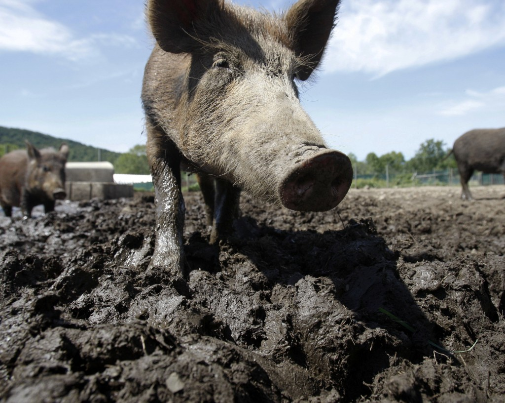 FILE - In this Aug. 24, 2011, file photo, a feral hog stands in a holding pen at Easton View Outfitters in Valley Falls, N.Y. New York has since eradi...
