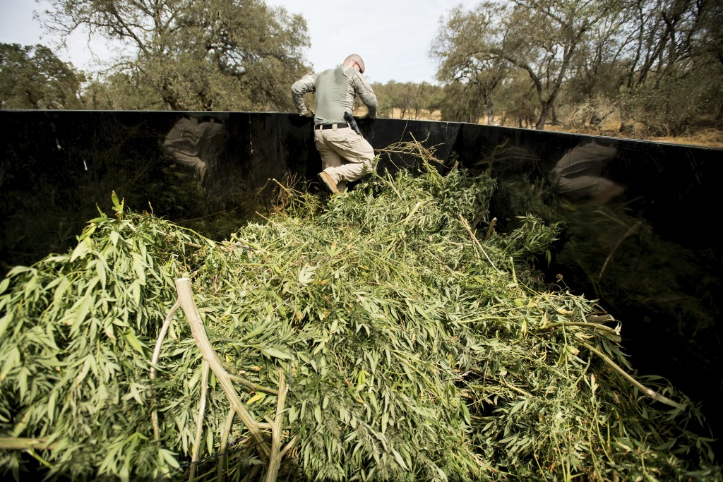 File - In this Sept. 29, 2017, file photo, a sheriff's deputy compacts marijuana seized during a raid in unincorporated Calaveras County, Calif. A hod...