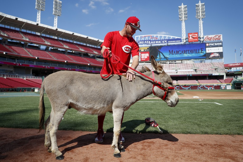 FILE - In this July 15, 2017, file photo, Cincinnati Reds shortstop Zack Cozart pets Amos, a donkey from Honey Hill Farms, brought to the ballpark as ...