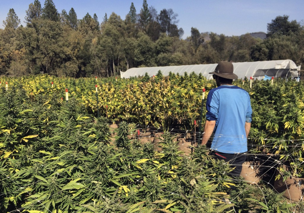 FILE - In this Oct. 15, 2017, file photo, Marcos Morales, co-founder of pot company Legion of Bloom, walks through his farm of ready-to-harvest mariju...