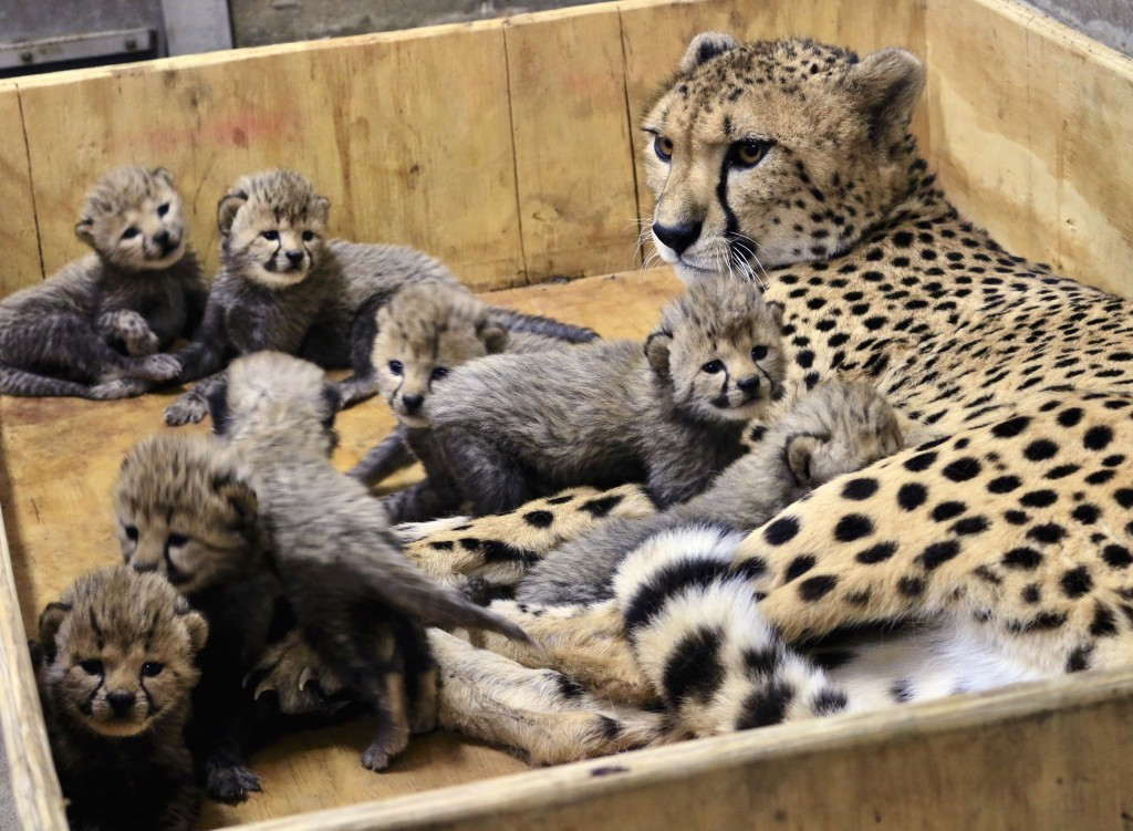 This Dec. 18, 2017, photo provided by the St. Louis Zoo shows Bingwa, a 4-year-old cheetah with her eight three-week-old cubs. Bingwa gave birth Nov.