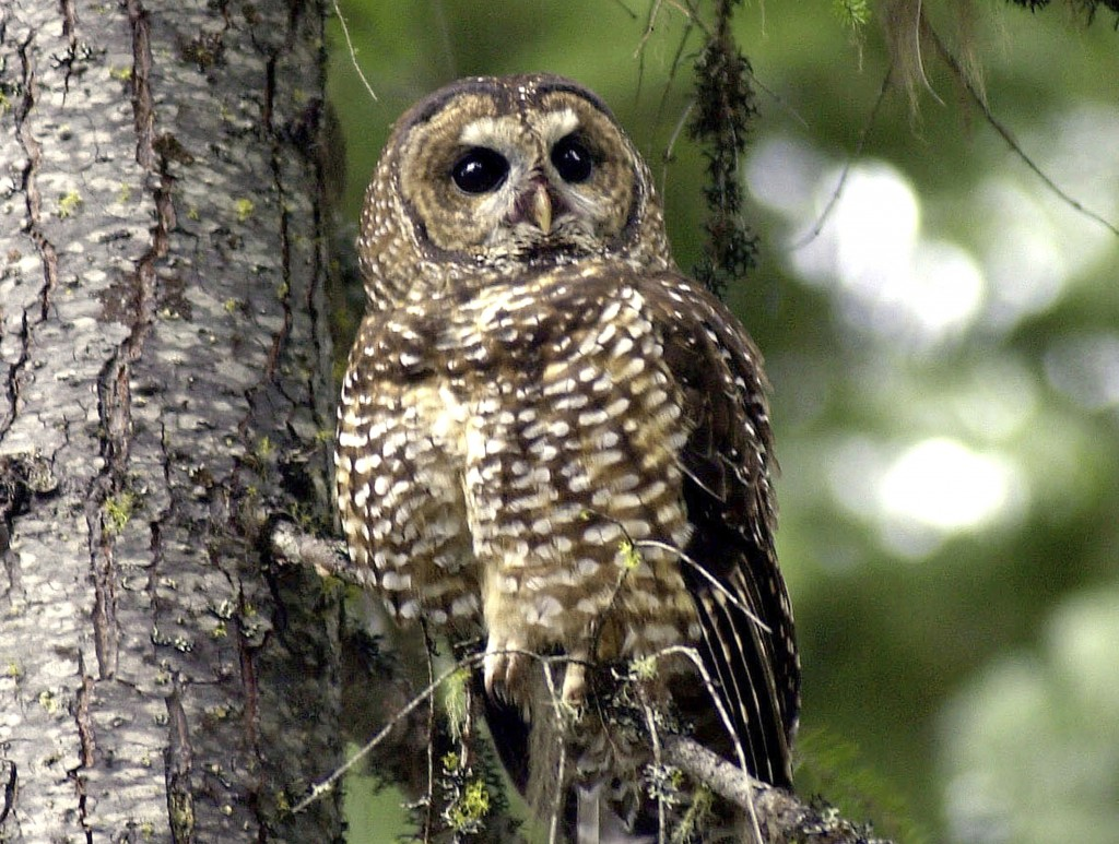 FILE - In this May 8, 2003, file photo, a northern spotted owl sits on a tree branch in the Deschutes National Forest near Camp Sherman, Ore. A federa