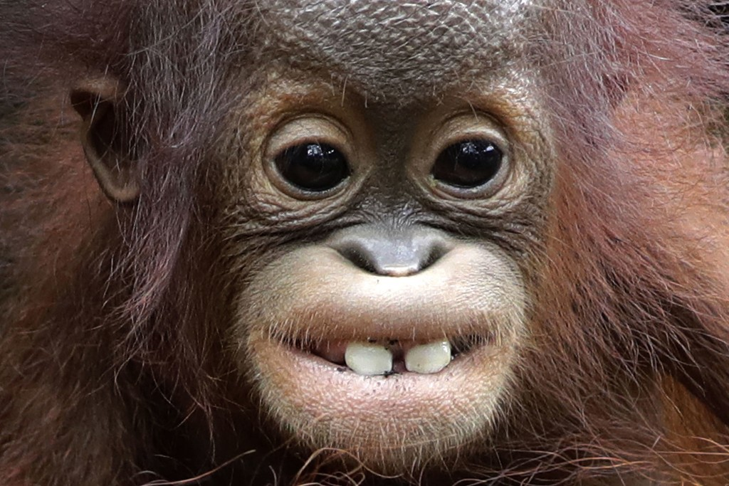 In this Thursday, Jan. 11, 2018, file photo, Khansa, an eight month old critically endangered Bornean orangutan shows off it's two front-teeth, at the