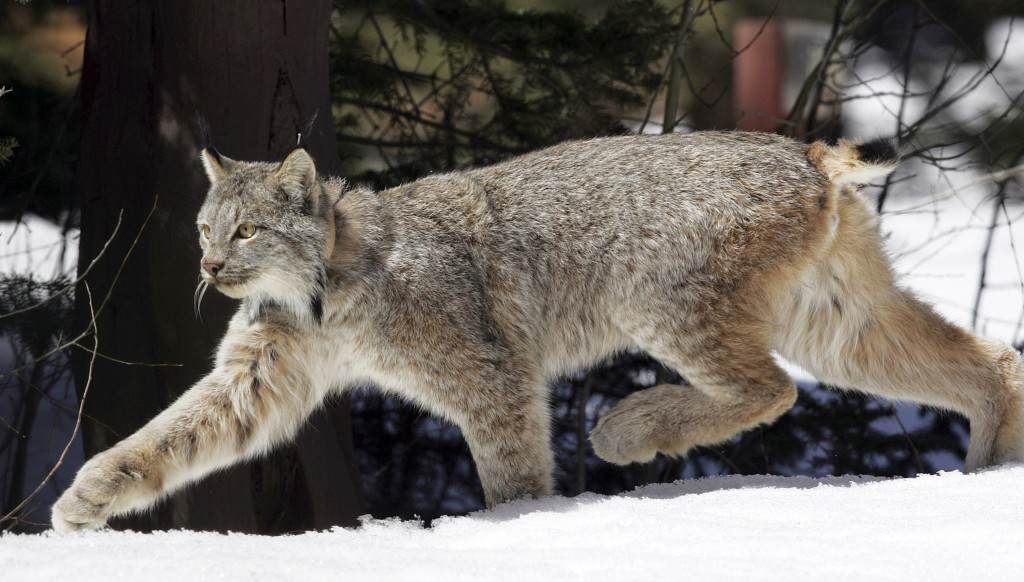 FILE - In this April 19, 2005 file photo, a Canada lynx heads into the Rio Grande National Forest after being released near Creede, Colo. Wildlife off