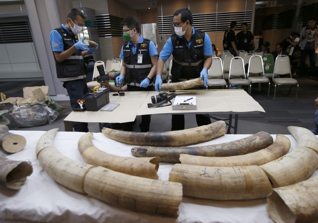 Forensic officers inspect ivory seized at the customs office after a press conference in Bangkok, Thailand, Friday, Jan. 12, 2018. Thai authorities se