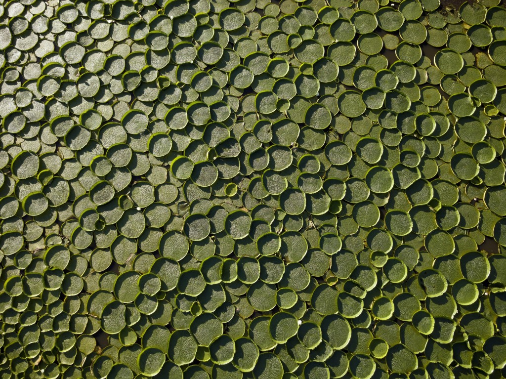 In this Jan. 7, 2018 photo, hundreds of Victoria Cruziana plants float over the Salado river water in Piquete Cue, near Limpio, on Asuncion's outskirt