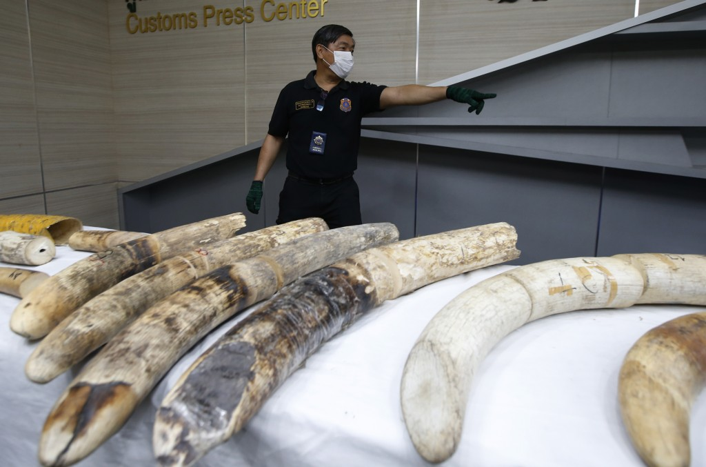 A Thai customs official displays seized ivory during a press conference in Bangkok, Thailand, Friday, Jan. 12, 2018. Thai authorities seized 148 kilog