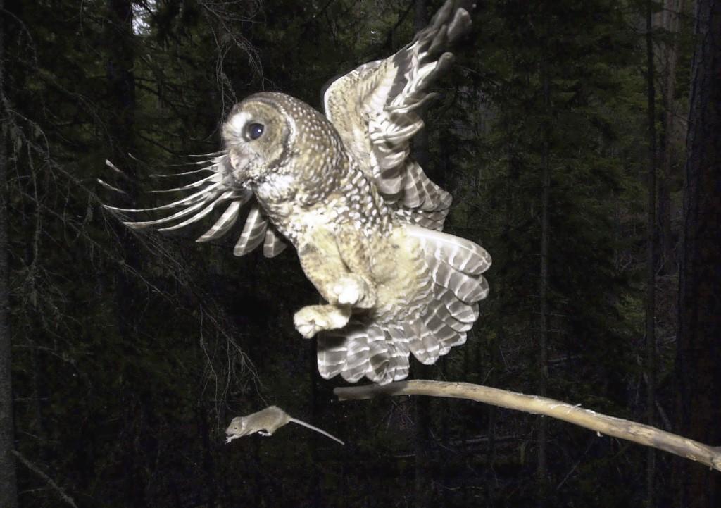 FILE - In this May 8, 2003, file photo, a Northern Spotted Owl flies after an elusive mouse jumping off the end of a stick in the Deschutes National F