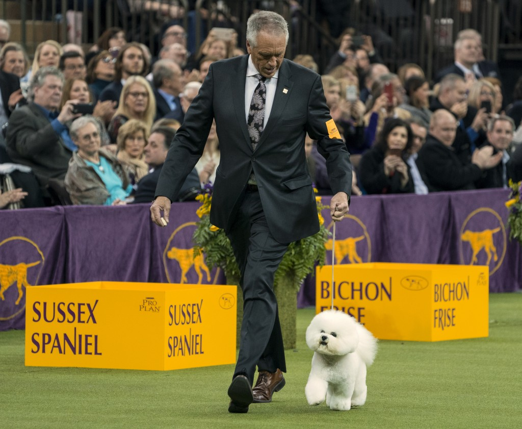 Handler Bill McFadden walks with Flynn, before the bichon frise was named Best in Show at the 142nd Westminster Kennel Club Dog Show, Tuesday, Feb. 13