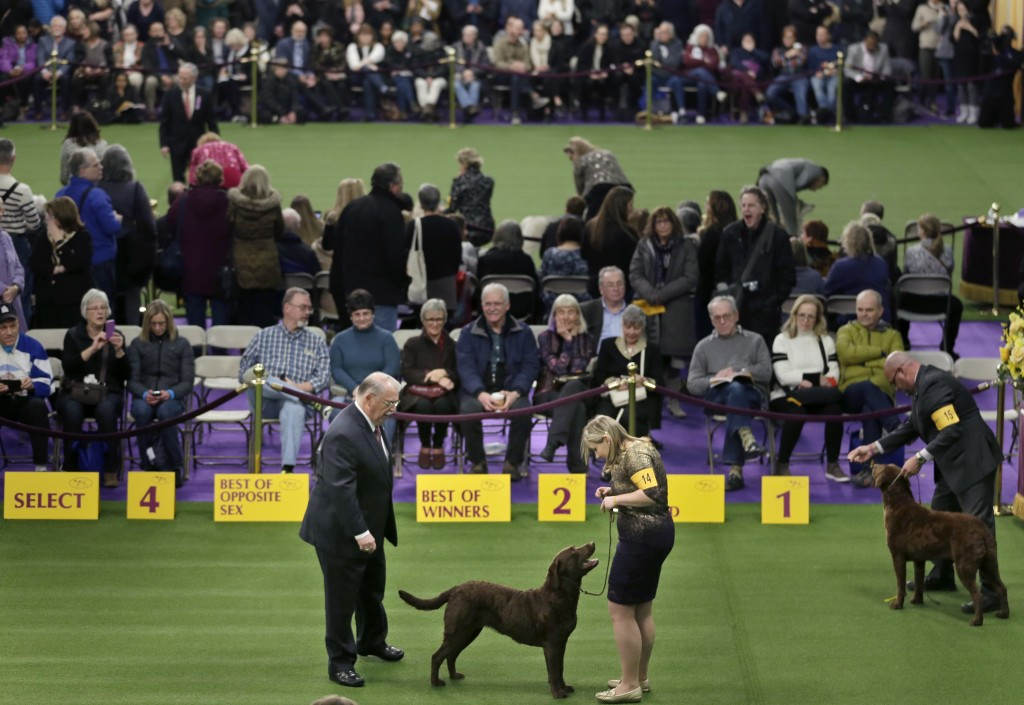 Chesapeake Bay retrievers compete during the 142nd Westminster Kennel Club Dog Show in New York, Tuesday, Feb. 13, 2018. (AP Photo/Seth Wenig)
