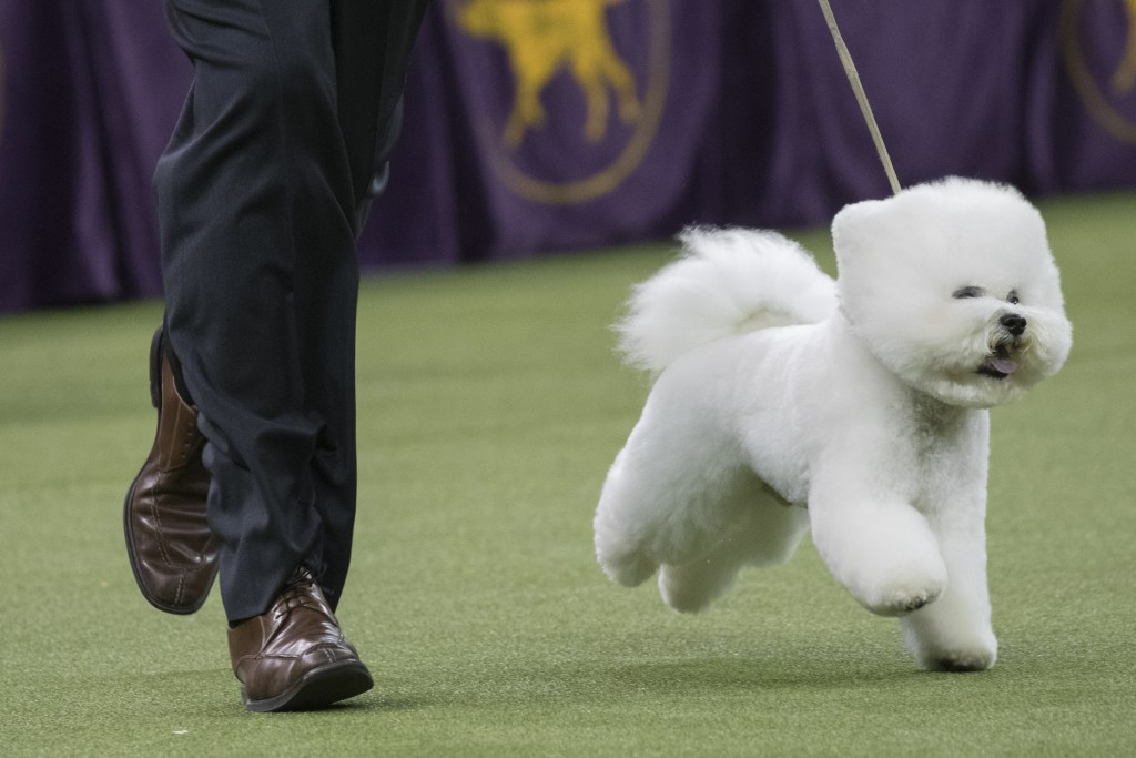 Handler Bill McFadden shows Flynn, a bichon frise, in the best in show competition during the 142nd Westminster Kennel Club Dog Show, Tuesday, Feb. 13